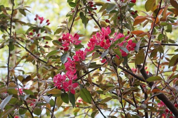 Dichte mening van bloeiende appelboom in tuin