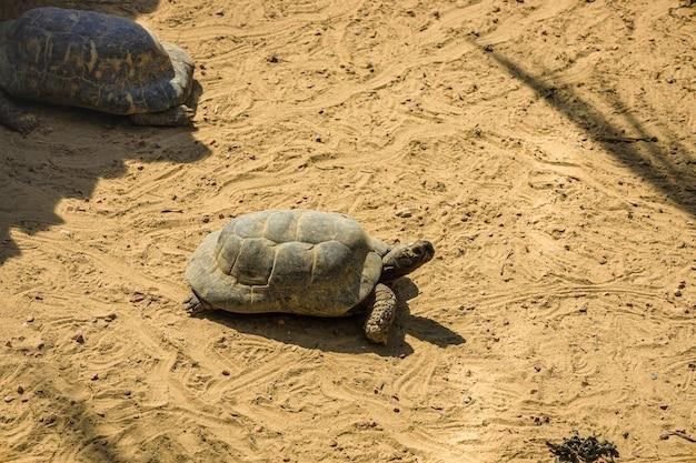 Dichte mening van grote galapagos-schildpad in modder