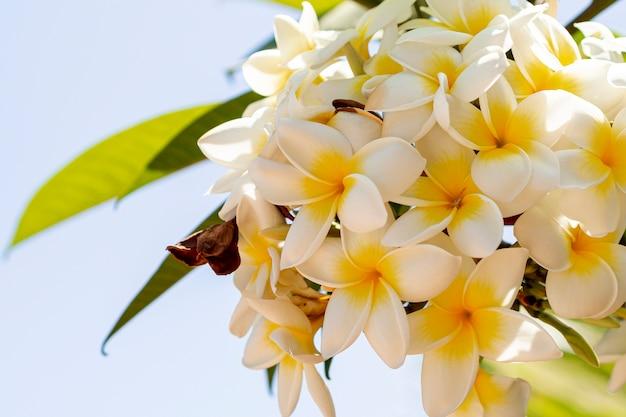 Dichte menings tropische gele en witte bloemen