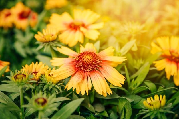 Dichte omhooggaand van een gele gaillardiabloem in de zomerweide