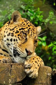 Dichte omhooggaand van het hoofd van een volwassen jaguar in het regenwoud van amazonië