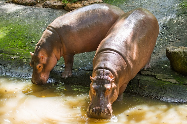 Dichte omhooggaand van het nijlpaardportret.