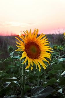 Dichte omhooggaande natuurlijke achtergrond van het zonnebloemgebied gele knop