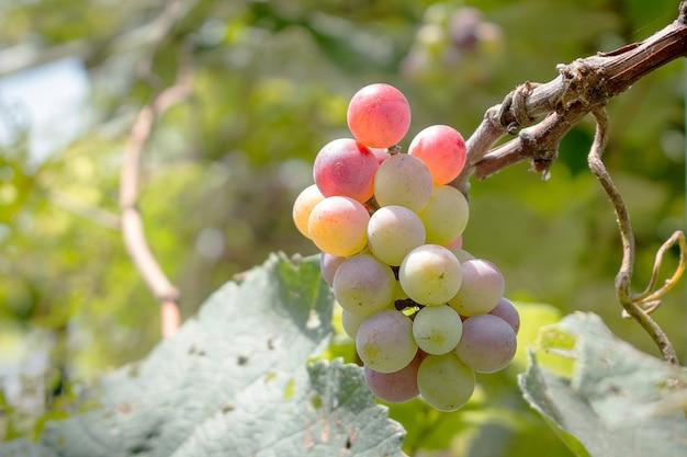 Dichten van druiven met groene bladeren op de wijnstok. vine druiven fruit planten in openlucht.