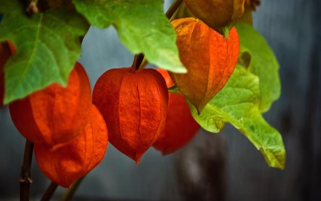 Diep oranje alkekengi