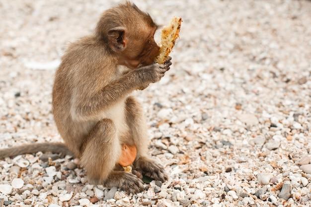 Dieren en dieren in het wild kleine aap of makaak zit aan wal en eet ananas pineapple