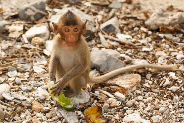 Dieren en dieren in het wild. kleine aap of makaak zit op rotsachtige kust en onderzoekt frame.