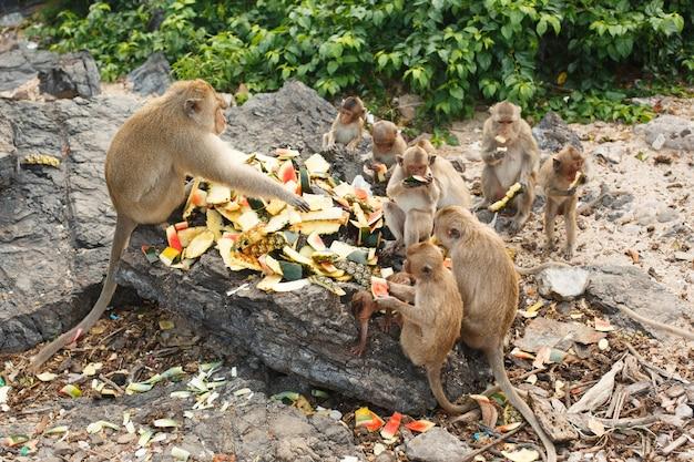 Dieren en dieren in het wild. veel apen of makaken zitten op grote stenen en eten watermeloenen en ananas