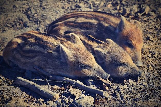 Dieren - wilde zwijnen in het wild.