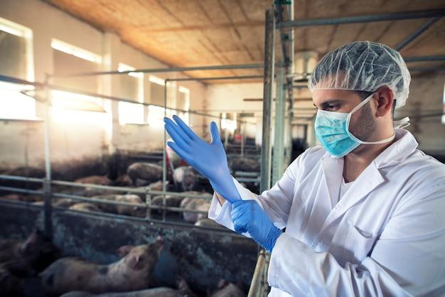 Dierenarts arts beschermende rubberen handschoenen te zetten op varkensboerderij.