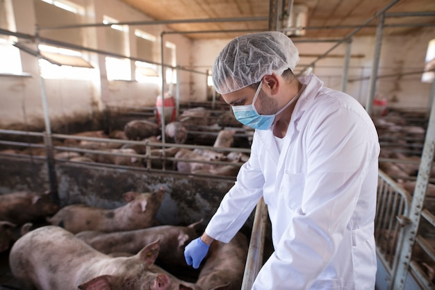 Dierenarts arts controleren varkens op varkenshouderij