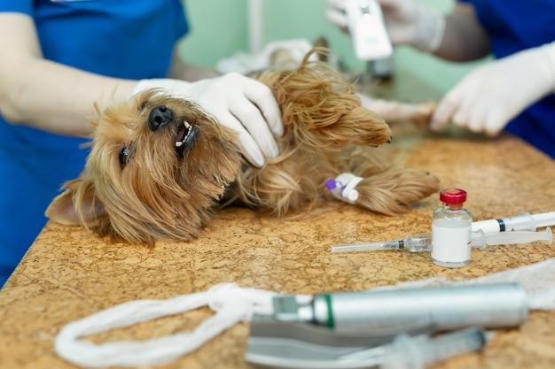 Dierenarts bereidt de hond voor door zijn been te scheren voor de operatie
