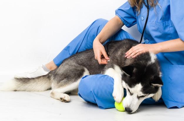 Dierenarts bij dierenartskliniek met siberische husky-hond
