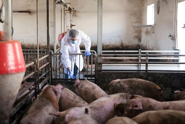 Dierenarts bij varkenshouderij die vee observeert en hun gezondheid controleert