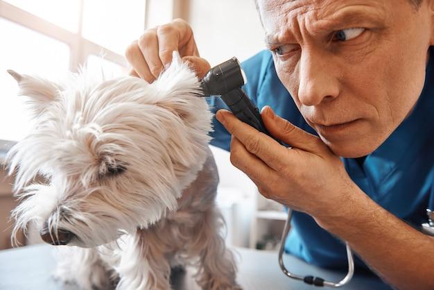 Dierenarts controleert het oor van de hond terwijl hij werkt in de dierenkliniek, het concept geneeskunde voor dierenverzorging