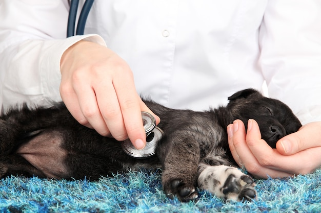 Dierenarts die de hartslag van de puppy controleert