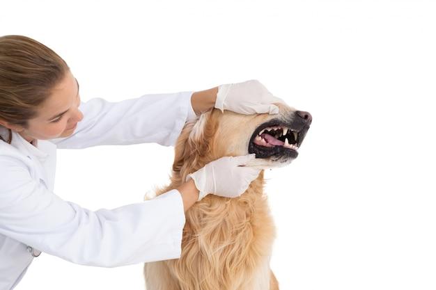 Dierenarts die de tanden van een hond controleert
