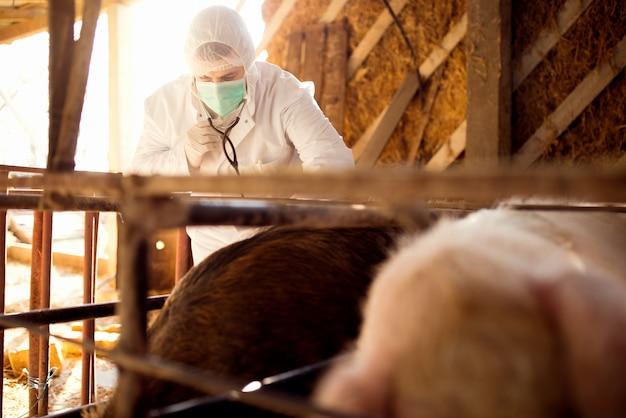 Dierenarts die varkens onderzoekt bij varkensfokkerij.