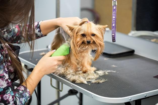 Dierenarts een yorkshire terriër trimmen met een haartrimmer in een dierenkliniek