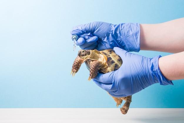 Dierenarts geeft een druppel medicijn uit een pipet aan een landschildpad