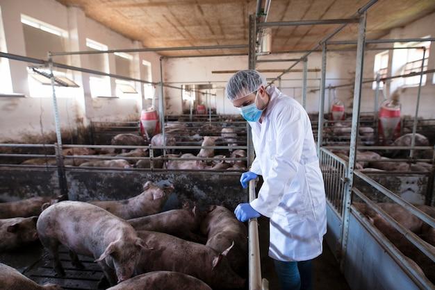 Dierenarts leunend op het hek van de kooi en observeert varkens op varkenshouderij en controleert hun gezondheid en groei