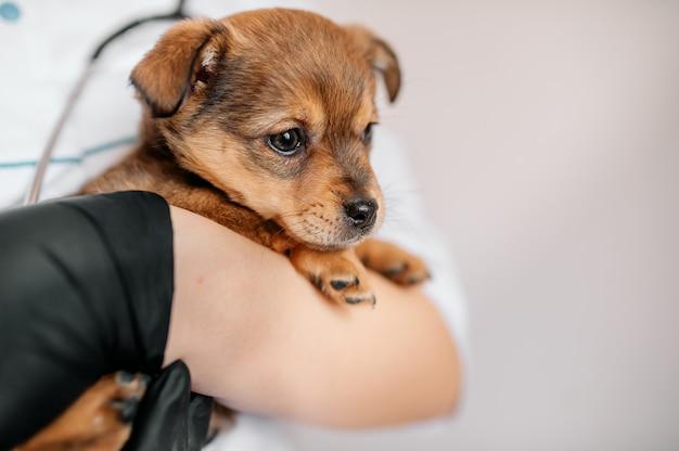 Dierenarts onderzoekt een puppy in een ziekenhuis. de kleine hond werd ziek. puppy in de handen van een dierenarts.