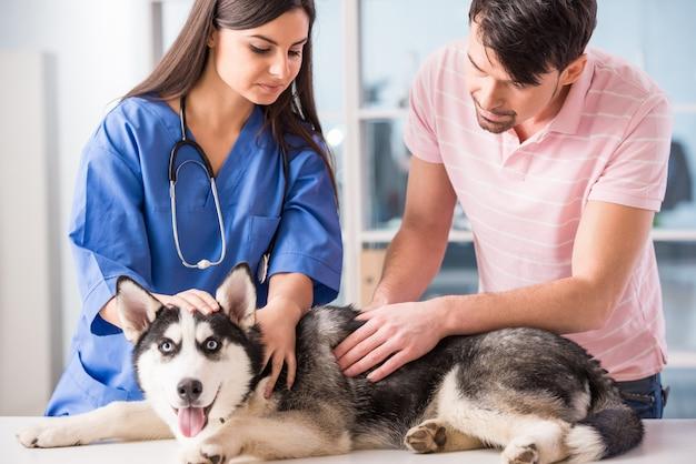 Dierenarts onderzoekt een schattige siberische husky in het ziekenhuis.