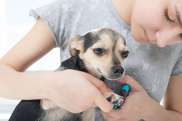 Dierenarts snijdt de klauwen van een kleine hondenspeelgoedterriër in de kliniek