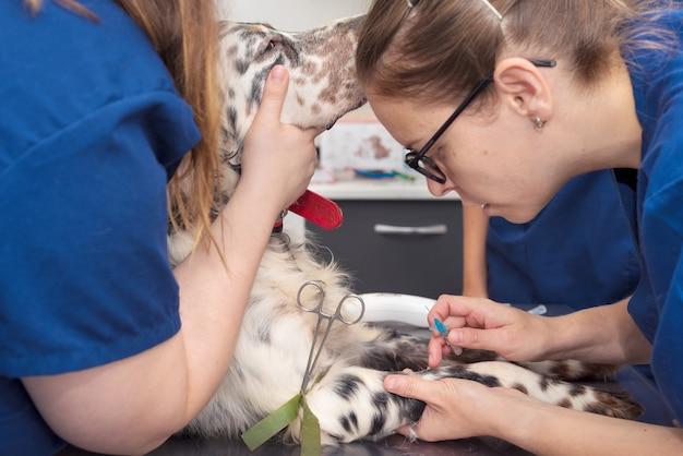 Dierenartsen plaatsen een intraveneuze lijn bij een hond