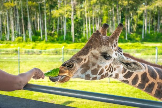Dierentuinbezoekers voeden een giraf vanaf verhoogd platform