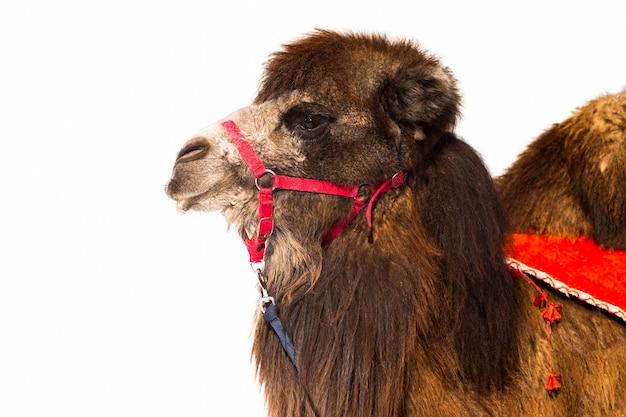 Dierlijke kameel bruin pluizig, lang haar, gedomesticeerd huisdier geïsoleerd