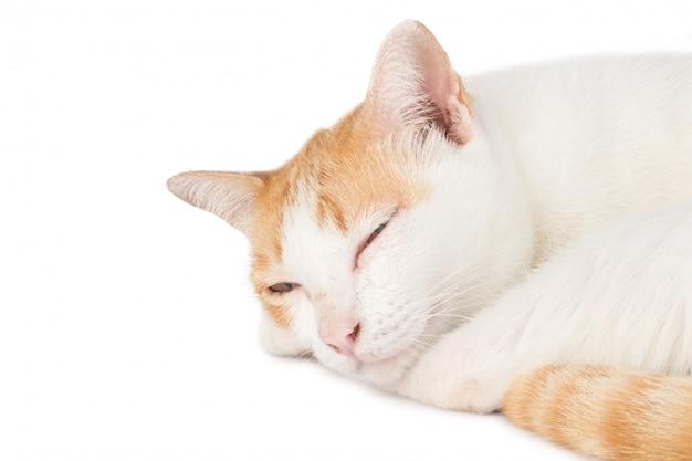 Dierlijke katten witte sinaasappel die op witte muur wordt geïsoleerd