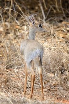 Dik-dik in het nationaal reservaat van afrika
