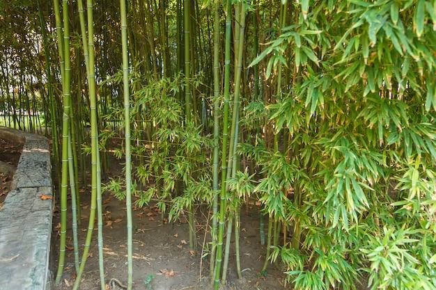 Dik struikgewas van jonge bamboe.