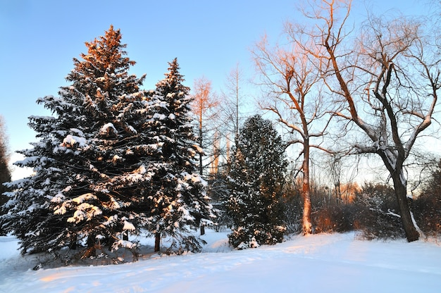 Dikke hoge donzige besneeuwde sparren groeien tussen het winterbos in de heuvels van een skioord in het bos. het concept van wilde rijke noordelijke natuur en winterrecreatie