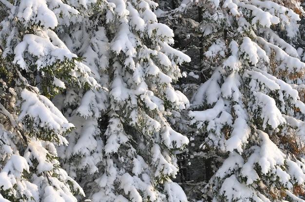 Dikke hoge donzige besneeuwde sparren groeien tussen het winterbos in de heuvels van een skioord in het bos