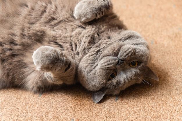 Dikke pluizige britse kat die op de vloer ligt