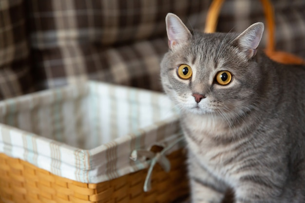 Dikke tabby britse kat staat bij rieten mand grote ogen kat kijkt verdacht naar de camera