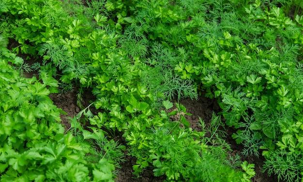 Dille, peterselie en koriander groeien in de tuin