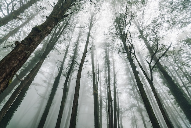 Direct zonlicht door japanse cederbomen met mist in het bos in alishan national forest recreation area in de winter in chiayi county, alishan township, taiwan.