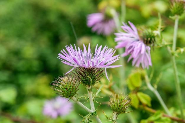 Distel stekelige bloem op de groene natuurlijke close-up als achtergrond. lente, bloeiende natuur concept.