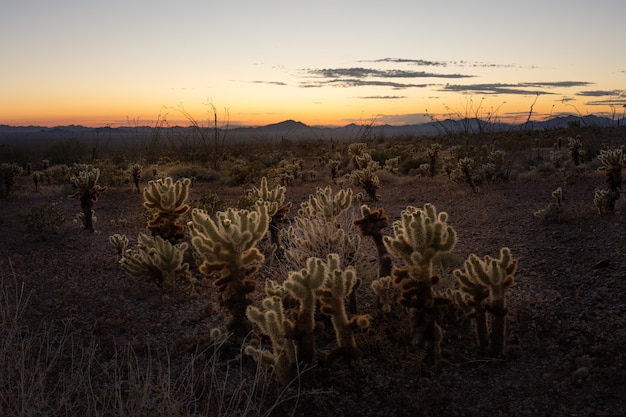 Dit is de foto van jumping cholla tijdens zonsondergang in saguaro national park, arizona, vs.