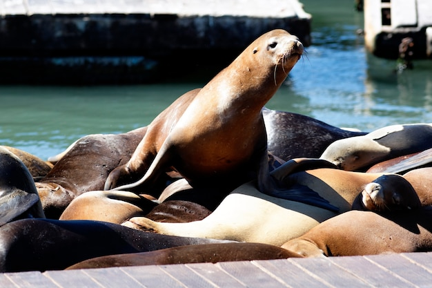 Dit is pier 39 en de zeeleeuwen in san francisco.
