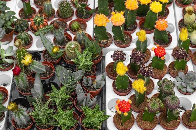 Diverse ingemaakte vetplanten en cactussenplanten in de serre. verschillende cactussen op de plank in de winkel. het uitzicht vanaf de top. decoratieve kleine cactussen in kleine potten van verschillende soorten.