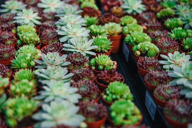 Diverse soorten vetplanten in potten