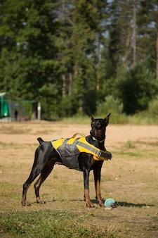 Doberman hond in reddingsvest met een bal op het strand
