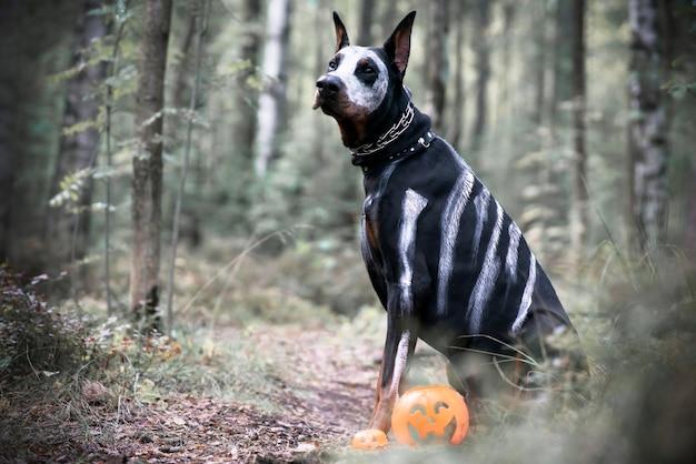 Doberman hond voor halloween, horror griezelig. zwart huisdier zit als een spook ons pompoen jack, eng en griezelig.
