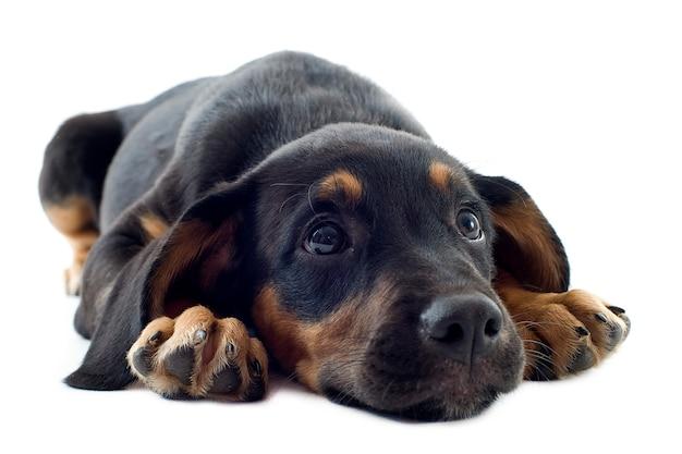 Doberman puppy op wit