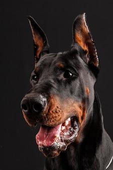 Dobermann pinscher portret