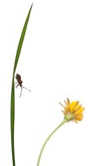 Dock bug, coreus marginatus, voor witte achtergrond Premium Foto